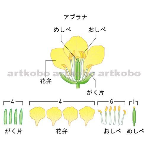 花 つくり の アブラナ の