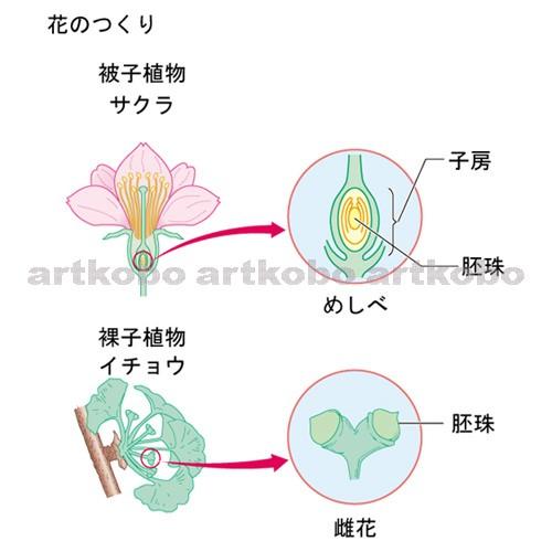 被子 植物 と 裸子 植物 の 違い
