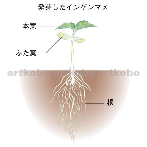 インゲン 豆 発芽